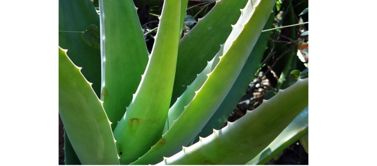Aloe-Vera-for-Hair