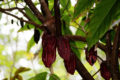 cacao health benefits